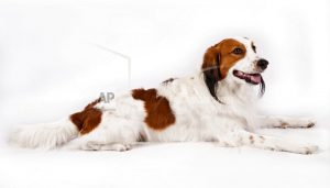 Dog meet dog: American Kennel Club adds 2 breeds to roster