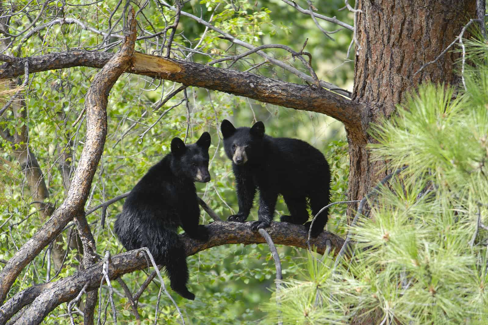 Missouri Department of Conservation (MDC) Encourages People To Be Bear Aware!