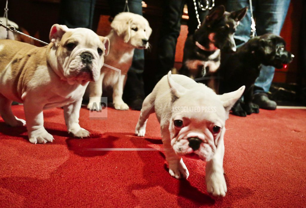 Labs still lead but French bulldogs, leap in popularity in US