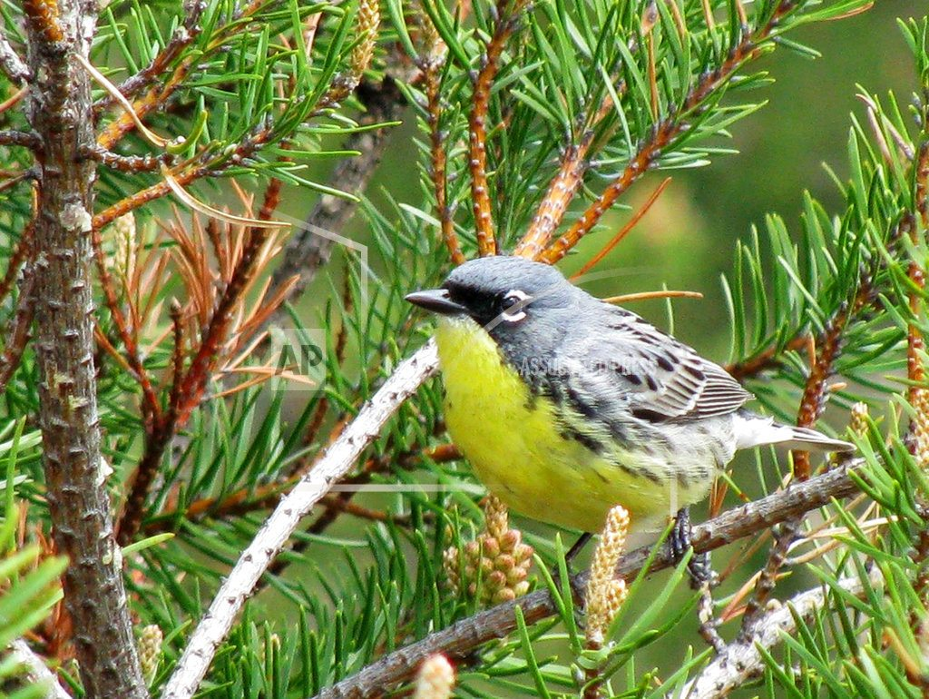 TRAVERSE CITY, Mich. |Feds propose dropping songbird from endangered species list