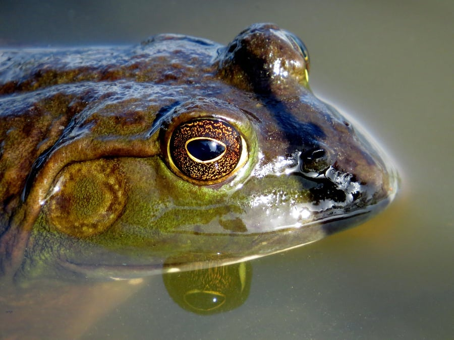 KANSAS | Grab, Gig or Dip For Bullfrogs Starting July 1