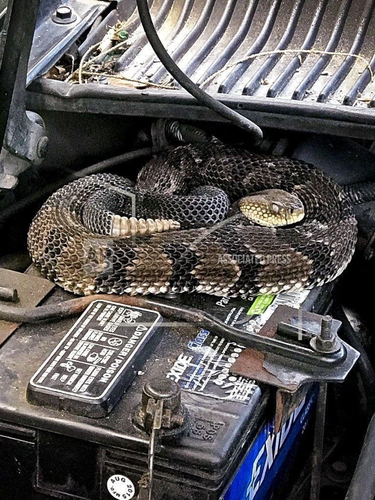 HANCOCK, N.Y.  | Man finds rattlesnake under hood while trying to start car