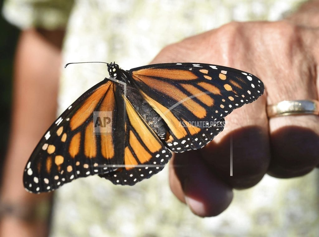 LONDON | Britain has a summer job for you: Count the butterflies