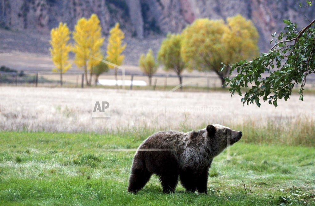 BILLINGS, Mont. | Protections restored for grizzly bears; hunts blocked