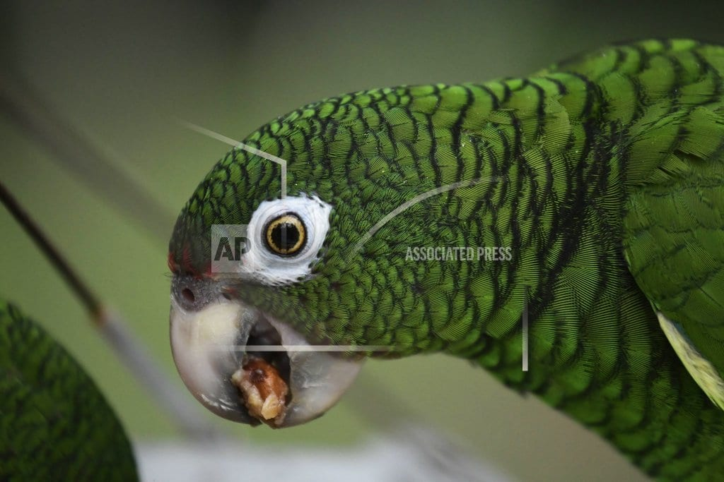 EL YUNQUE, Puerto Rico | Scientists work to save wild Puerto Rican parrot after Maria