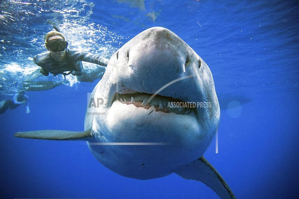 HALIEWA, Hawaii | Researchers come face-to-face with huge great white shark
