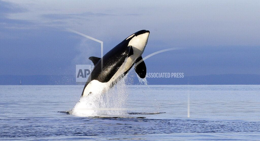 SEATTLE   Scientists ID another possible threat to orcas: pink salmon