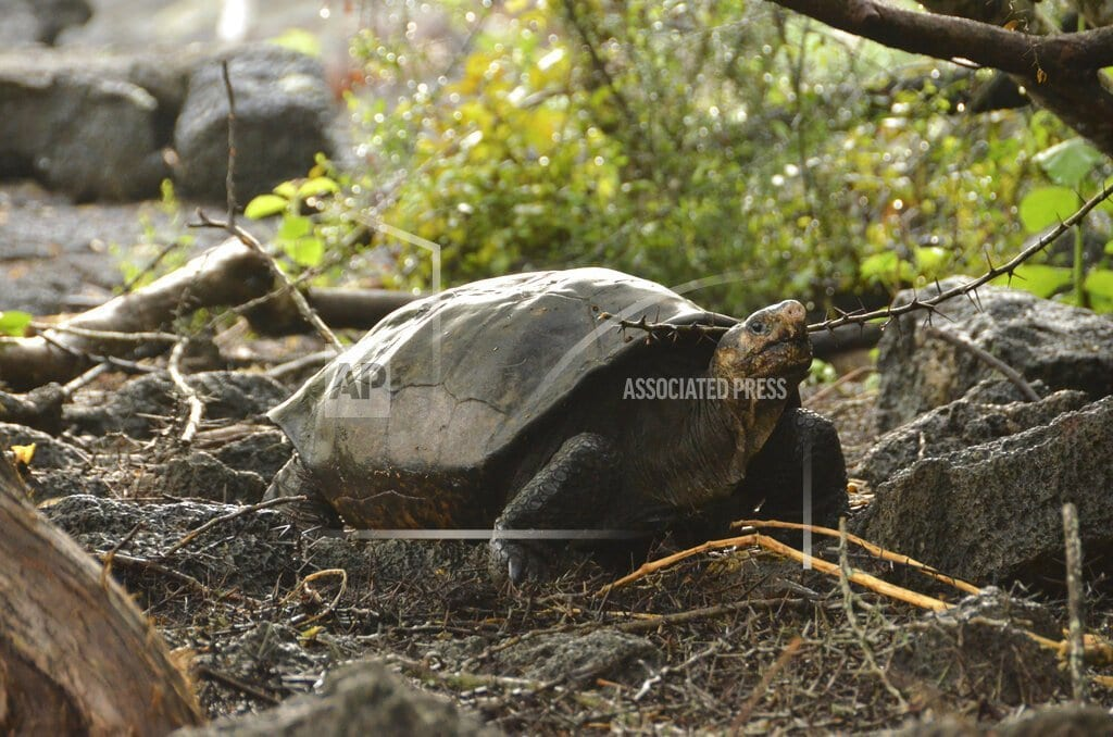 LIMA, Peru | Tortoise feared extinct found on remote Galapagos island