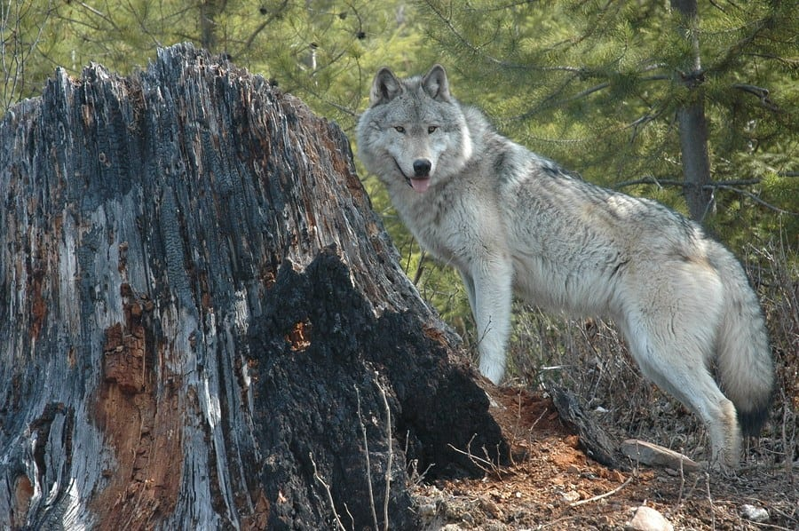 Department of the Interior Celebrates Recovery of the Gray Wolf with Proposal to Return Management to States, Tribes