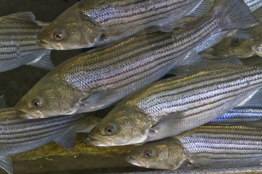 South Carolina DNR News: Public invited to meeting on Lake Hartwell striped bass management programs