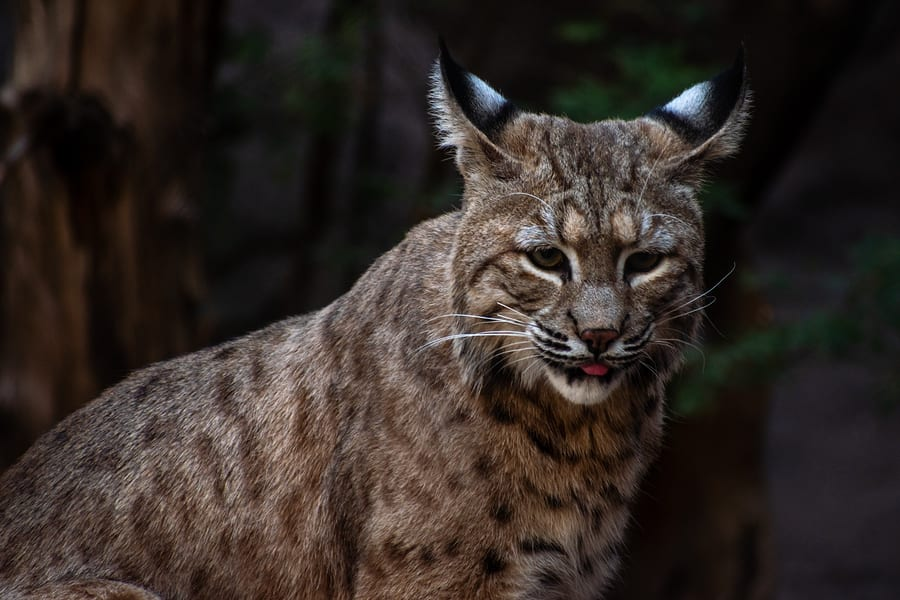Oregon Department of Fish and Wildlife Euthanizes First Bobcat for Exhibiting Abnormal Behavior