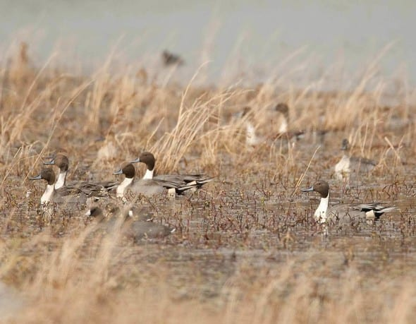 Missouri MDC Wetland Managers Share Tips as Duck Season Approaches