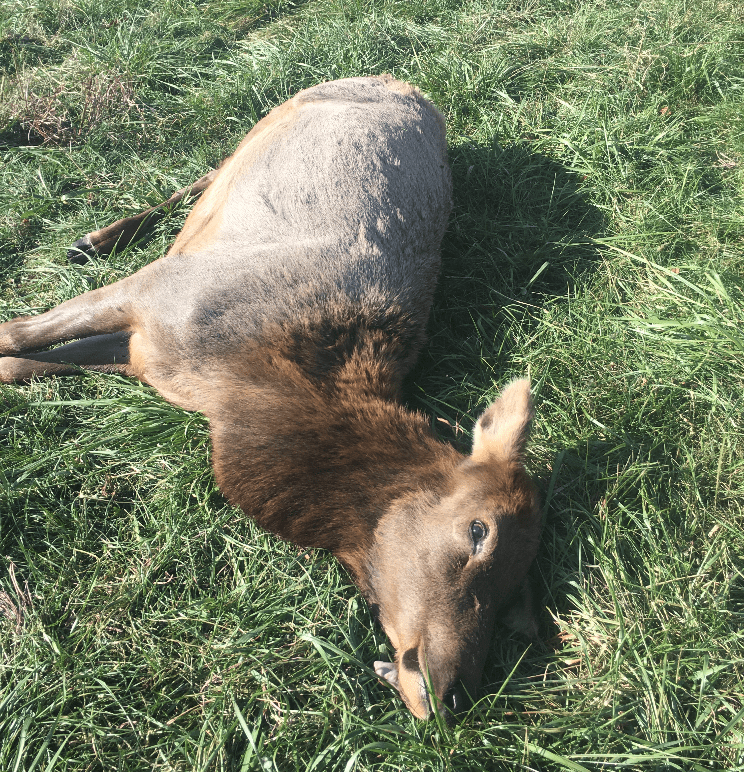 Missouri Department of Conservation Needs Information on Elk Illegally Shot in Carter County