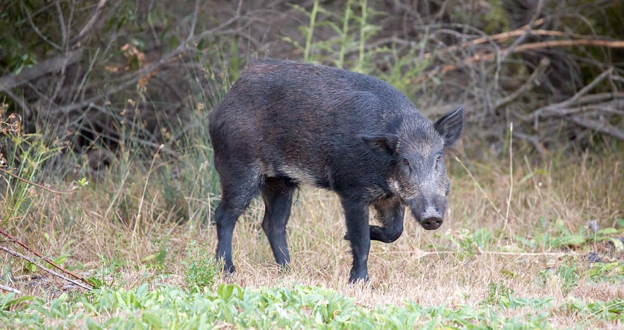 Missouri Feral Hog Elimination Partnership Responds to Mark Twain Announcement